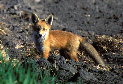 red fox on hillside