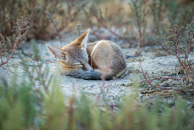 A kit fox in Utah. Photo by Tom Becker, Utah Division of Wildlife Resources.