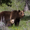399 and her cub stroll into a meadow on a sunny morning to graze on plants and roots.