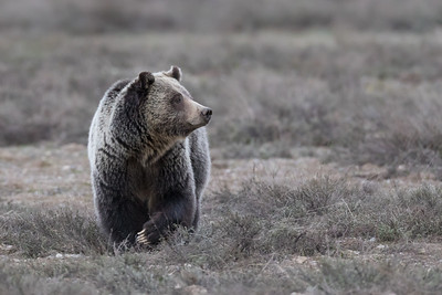 A Magnificent Grizzly Sow affectionately known as Blondie