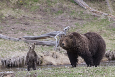 Curious Grizzly Cub and Her Mother