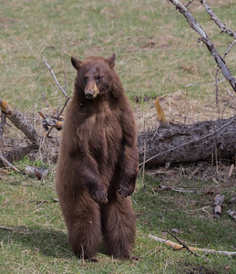 A Cinnamon Black Bear Stands to Observe a Hiker