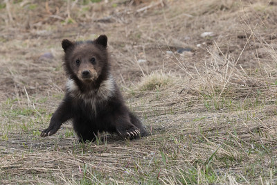 Curious Grizzly Cub