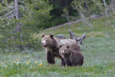 A Grizzly Sow and Her Cub Graze in a Meadow in Early Spring