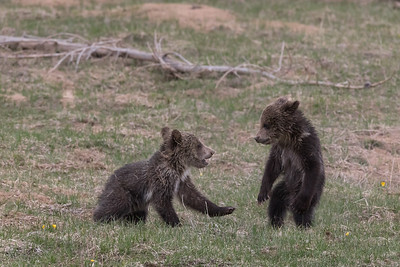 Grizzly Cubs Play Fighting!
