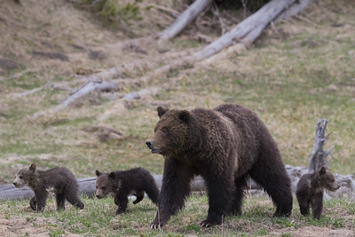 Grizzly Sow and Her Triplets