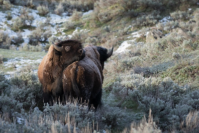 Two bison posturing after a spring snowstorm