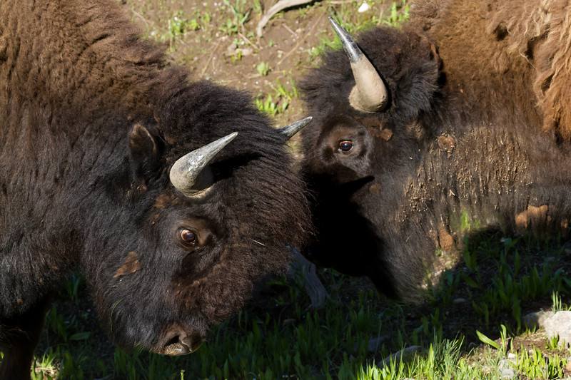 These two young Bison bulls were engaged in mock fighting early one Spring morning in the Lamar Valley in Yellowstone National Park.  We had no doubt that they were practicing and honing their skills for the rut in the coming months.