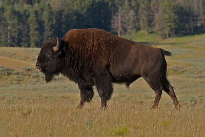 Bull bison on an Autumn morning in Lamar Valley, Yellowstone National Park.