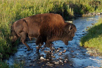A  large bull Bison crosses a cold stream early one Autumn morning in the Lamar Valley, Yellowstone National Park.