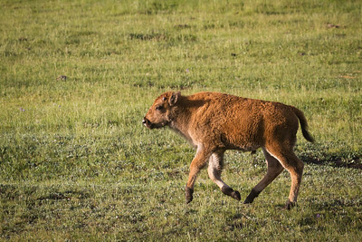 A young bison romps along one early Spring morning in the Lamar Valley, Yellowstone National Park, WY.