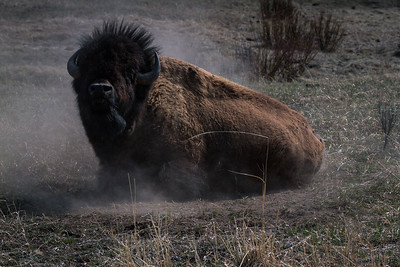 "An enormous bull bison regards us with the classic Bison ""Stink Eye"" as we photographed him finishing up a dust bath from the relative safety of our vehicle.  We thought fur on the crown of his head really added to his attitude in our photo!"