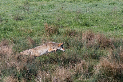 Coyote Leaping After Prey