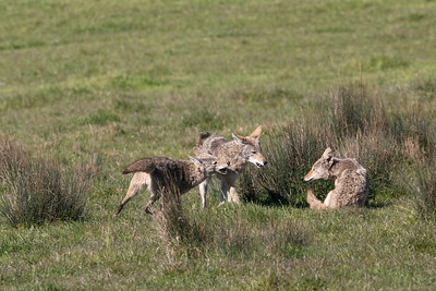 Coyote pack dominating one of the younger  coyotes