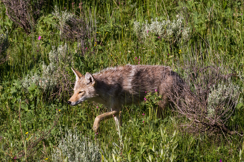 Near Tower Junction in Yellowstone N.P., we were fortunate enough to watch a stealthy coyote hunting in the sage and grasses one morning.