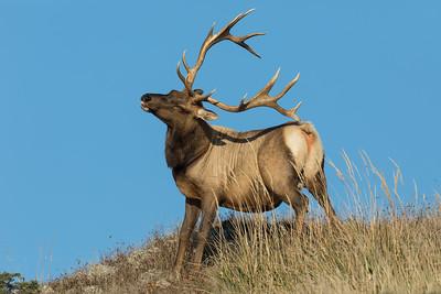 A Tule Bull Elk Using His Antler As A Back Scratcher