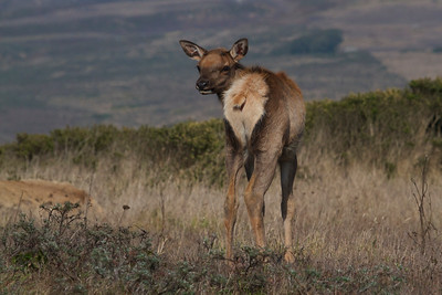 Young tule elk, Point Reyes National Seashore.