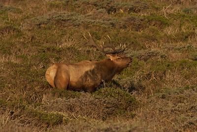 Dominant bull elk bugling at Point Reyes National Seashore.