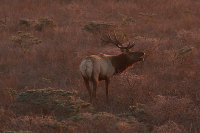 Bull elk bugling at sunset in Point Reyes National Seashore.