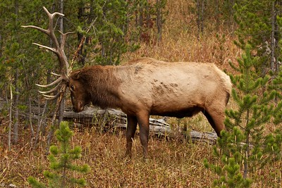 Bull elk rubbing antlers on a small conifer, Yellowstone National Park.