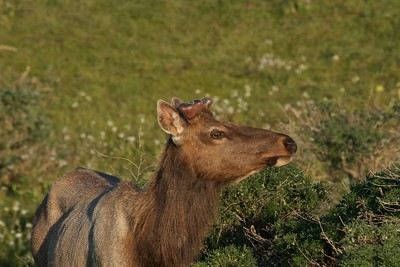 Budding antlers on bull elk, Point Reyes National Seashore.