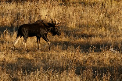 Early bright sunlight catching a bull moose in Grand Tetons National Park.