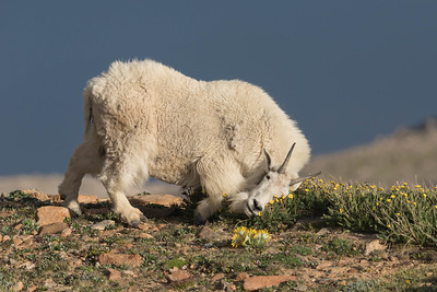 A Mountain Goat Nanny Has A Good Face Rub On Wild Cinquefoil
