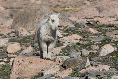 A Mountain Goat Kid Poised On A Boulder