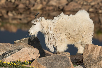 A Mountain Nanny Goat Dines On Wildflowers On Mount Evans, Colorado.
