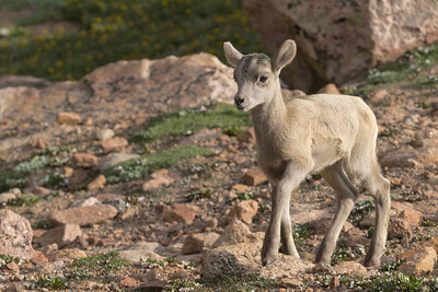 A New Baby Bighorn Sheep Walks Carefully Over The Rocky Terrain