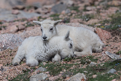 Snuggling mountain goat kids