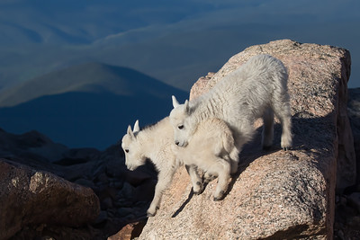 Two Mountain Goat Kids Nuzzle While Practicing Their Jumping Skills