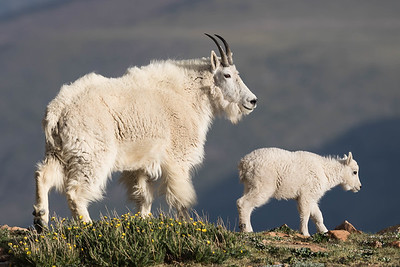 A Nanny Mountain Goat And Her Kid Pause On A Ridgetop