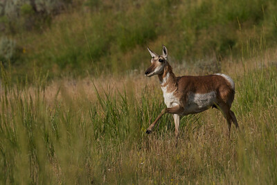 Female pronghorn antelope running in the Lamar Valley, Yellowstone National Park.
