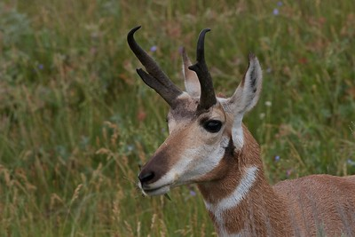 Male pronghorn antelope grazing in the Lamar Valley, Yellowstone National Park.