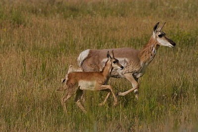 Mother and baby pronghorn antelope on the move in the Lamar Valley, Yellowstone National Park.