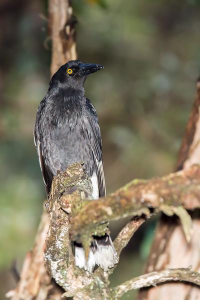 Pied Currawong (Cracticus nigrogularis)