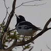 Pied Butcherbird (Cracticus nigrogularis)