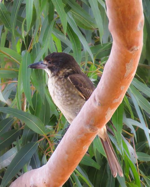 Grey Butcherbird (Cracticus torquatus): (Immature)