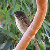 Grey Butcherbird (Cracticus torquatus): (Immature)