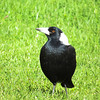 Australian Magpie (Cracticus tibicen):(White Backed)
