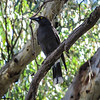 Pied Currawong (Cracticus nigrogularis)