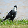 Australian Magpie (Cracticus tibicen):(Black Backed)