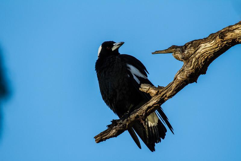Australian Magpie (Cracticus tibicen):(Black Backed)