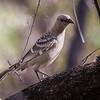 Great Bowerbird (Chlamydera nuchalis)