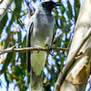 Black-faced Cuckoo-shrike (Coracina novaehollandiae)