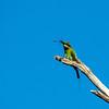 Rainbow Bee-eater (Merops ornatus)