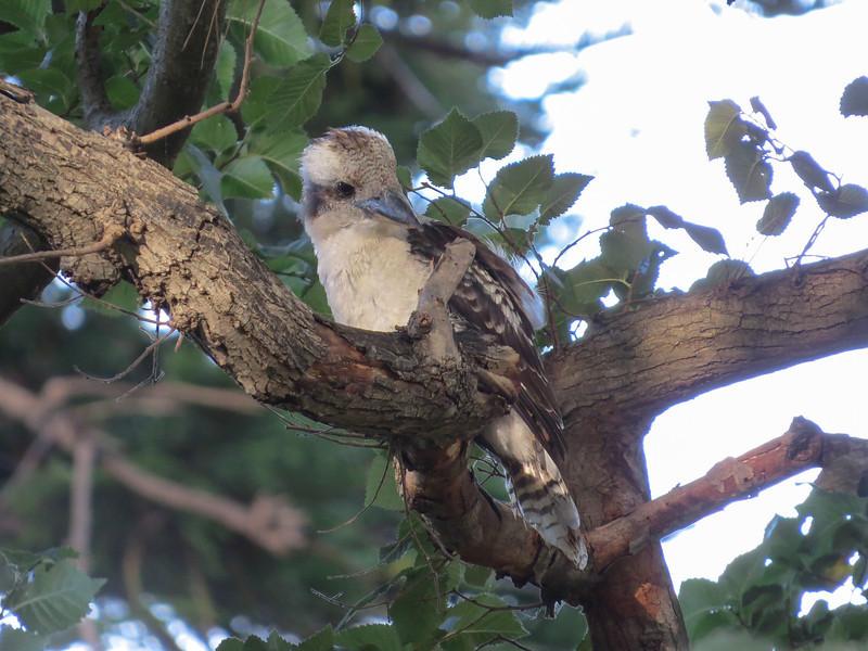 Laughing Kookaburra (Dacelo novaeguineae)  <br></br>
