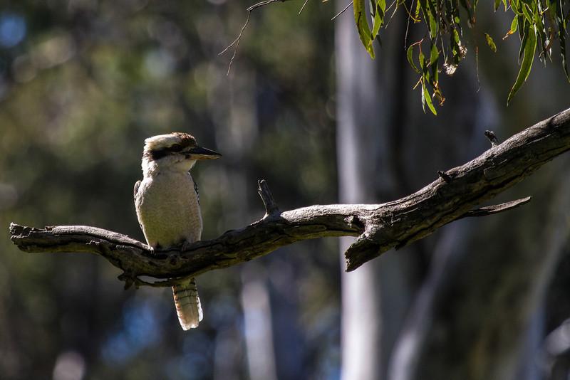 Laughing Kookaburra(Dacelo novaeguineae)