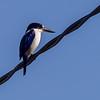 Forest Kingfisher (Todiramphus macleayii)